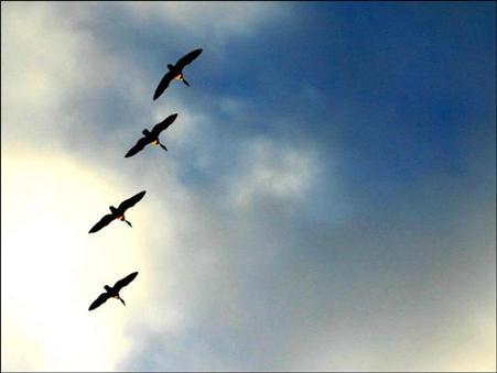 שיעור האווזים