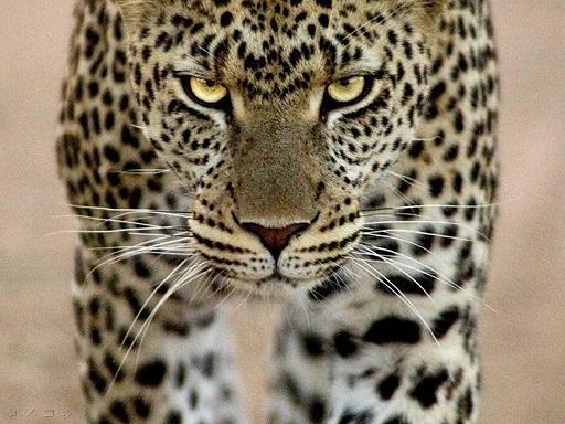 מלך החיות - תמונות של אריות ושאר חיות