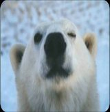 הדוב הקוטבי המבורך ! The Polar Bear Blessing!