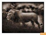 אוסף תמונות יפות של חיות בר בשחור לבן