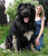 כלבים גדולים