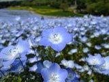פרחים במרומי החרמון  מאת עוזי פז