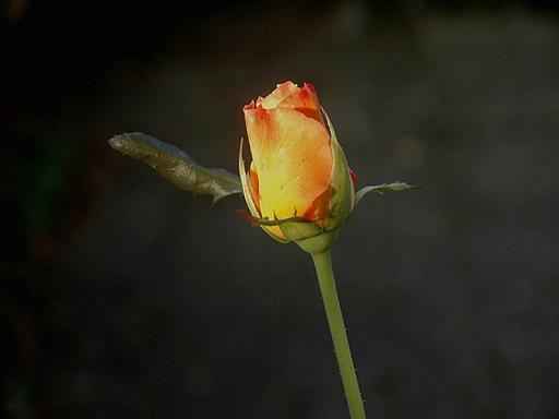כל אדם הוא פרח