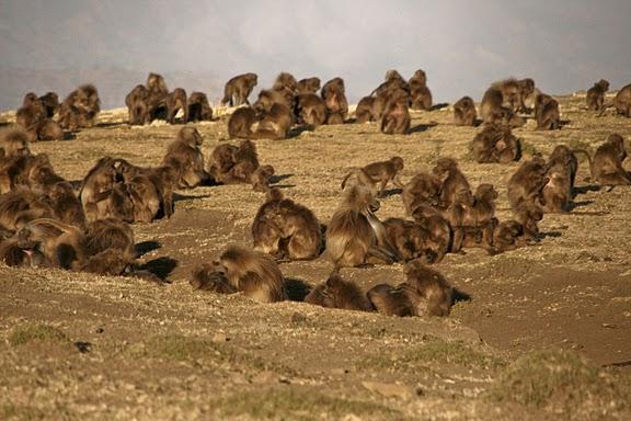 פארק הקופים סימיין באתיופיה