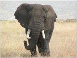 בין הפילים