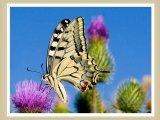 פרפרים יפים