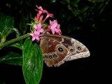 פרפרים בקוסטה ריקה