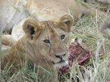 האריות, מעגל החיים