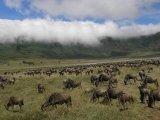 עדרים הגדולים בסוואנה של טנזניה
