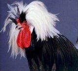 תרנגולים ותרנגולות