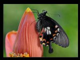 צבעים של פרפרים
