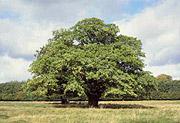 כי האדם עץ השדה
