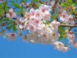 אביב ביפן