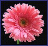 קליידוסקופ  של פרחים