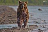 איך הדובים תופסים דגים