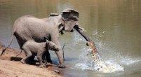 קרב בין פיל לתנין