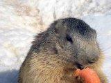 Adorable Marmots