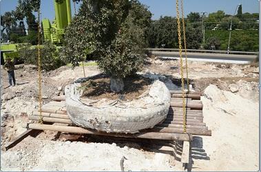 העתקת עצי אלון