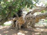 עשרת העצים היקרים (והמדהימים) בישראל