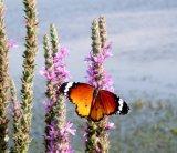 פרפרים בעמק החולה