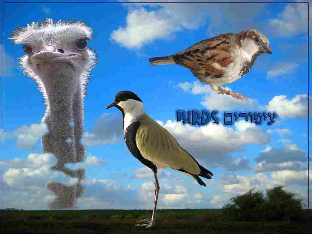 ציפורים Birds