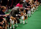 Dog Show Westminster Kennel Club 2012