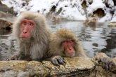 פארק הקופים Jigokudani