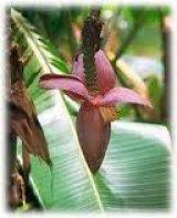 צמחים טרופים
