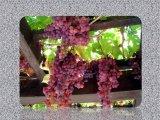 ענבים ויין