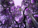 פארק הפרחים אשיקגה ביפן