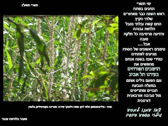 פריחת חצבים מול סביבה אורבנית דורסנית בתל אביב 2012