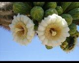 קקטוס ענק Saguaro