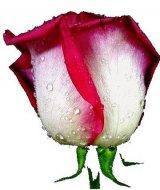 פרחים באהבה