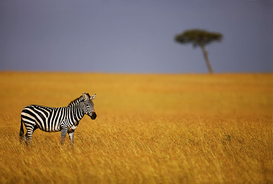 סוואנה בקניה