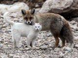 החתול והשועל -  ידידות מופלא