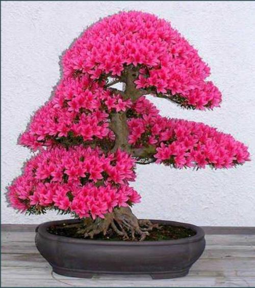 עציצי בונסאי
