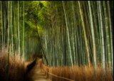 יער הבמבוק