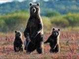 צילומים קמצ`טקה שברוסיה היתפרצות הר געש ומשפחת דובים באיזור