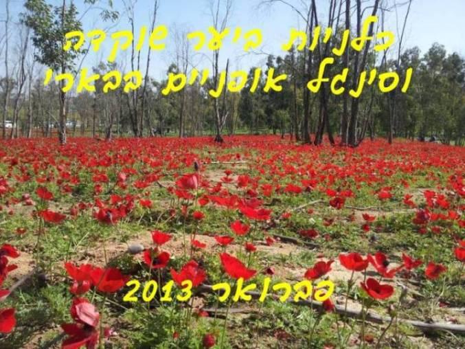 פריחת כלניות ביער שוקדה חורף 2013
