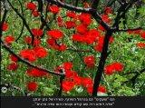 פריחה  בטבע !!! :'' התזמורת האדומה''