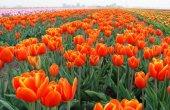 פרחים בהולנד באביב