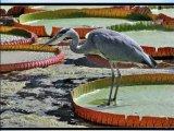 ויקטוריה-חבצלת המים הגדולה בעולם