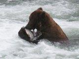 הגריזלי של אלסקה