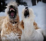 שלג וכלבים