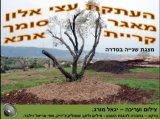 העתקת עצי אלון - חלק ב