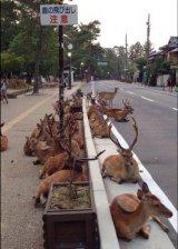יחמורים בעיר נארא ביפן