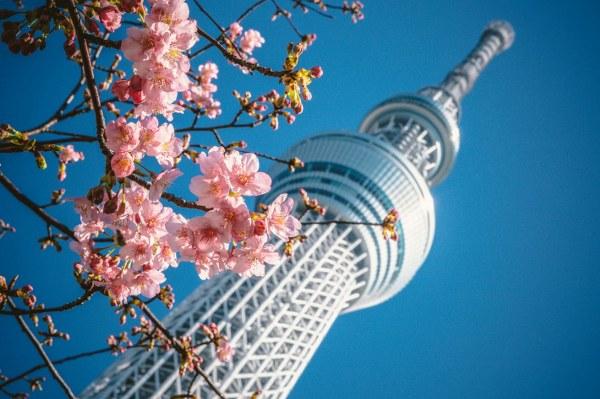 פריחת הסאקורה בטוקיו